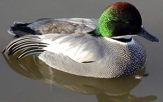 falcated_duck.jpg